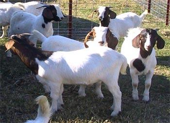 Goat Discovery - Breeds - Boer | Animal & Food Sciences
