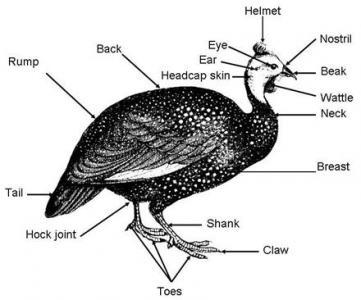parts of a guinea fowl