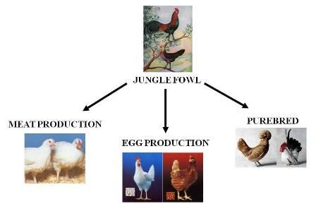 selection chicken
