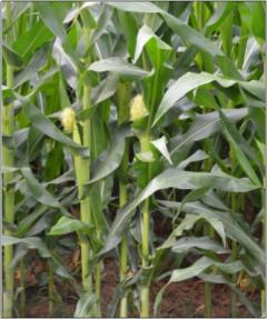 Corn analysys picture