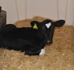 Black cow laying down
