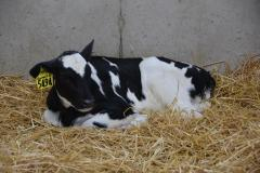 Cow laying in hay