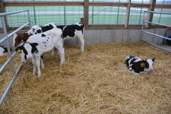 Dairy - pen of calves