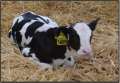 calf laying on straw