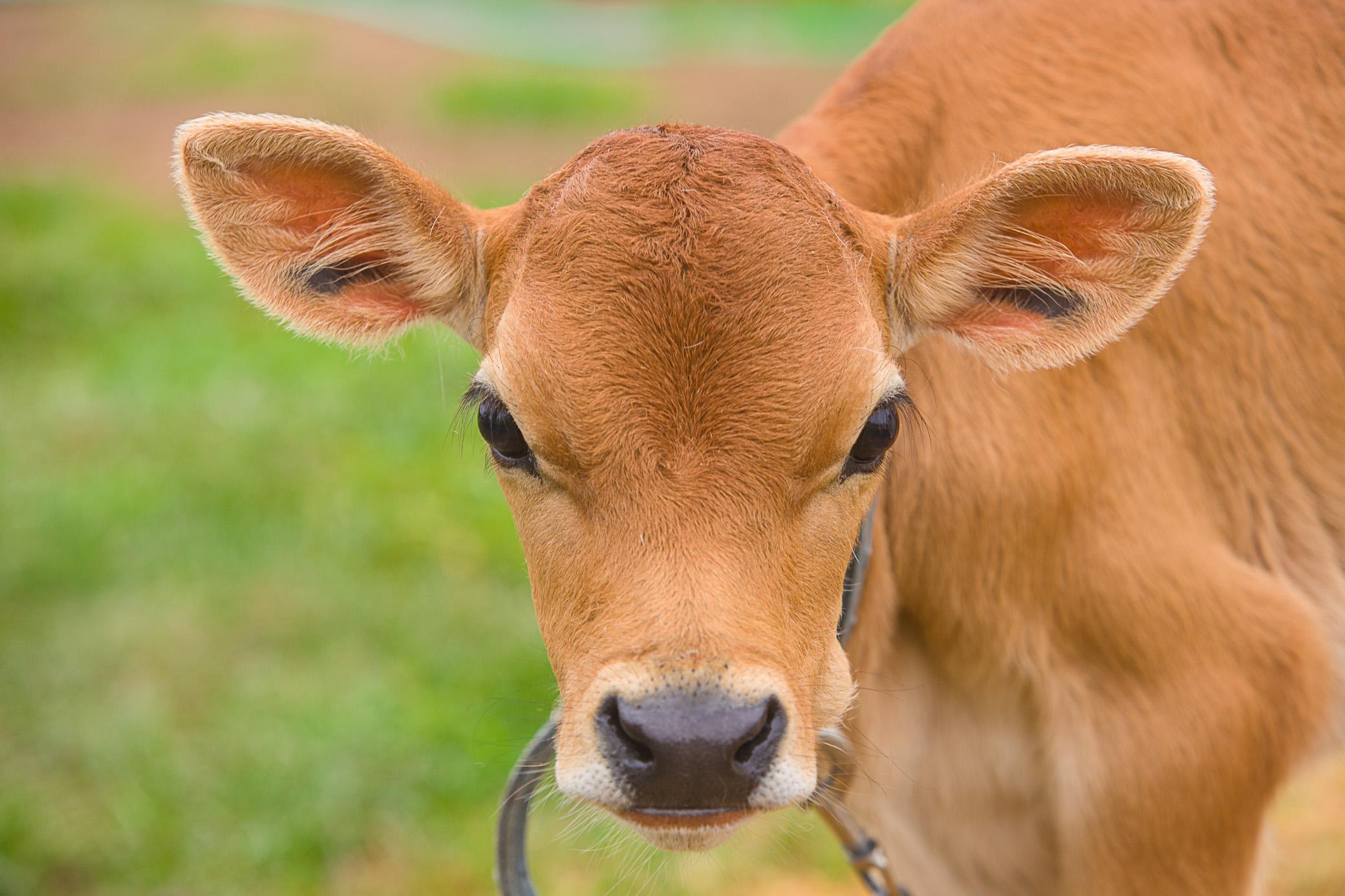 Young calf