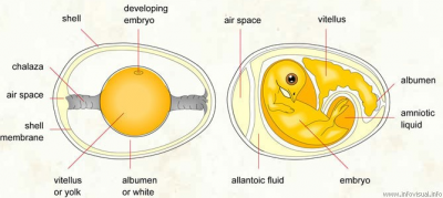 incubated egg