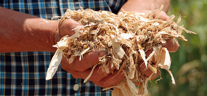 Man holding corn silage