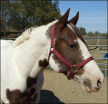 Figure 1. A healthy horse should look alert and pay attention to you when you approach it.