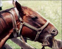 Figure 2.  Some horses crib even when they are  wearing cribbing straps and collars.