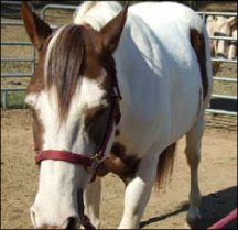 Figure 2. A horse that has a fever or is starting to develop a disease will be uninterested in his surroundings, have no appetite, will stop drinking water, and will be abnormally lethargic.