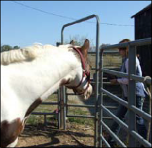 Figure 3. Note how this horse is paying attention to the handler as she enters the round pen. You can see that by the perked ears and by his body position, with his neck eagerly extending toward the handler.