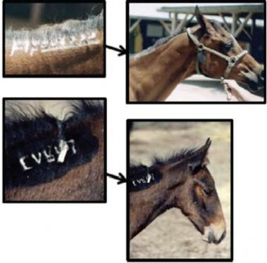 Examples of freeze-marking used by the Bureau of Land Management to identify wild horses and burros gathered from public rangelands.