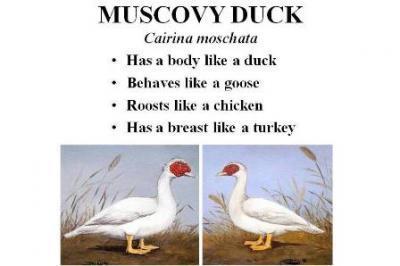 Duck | Animal & Food Sciences