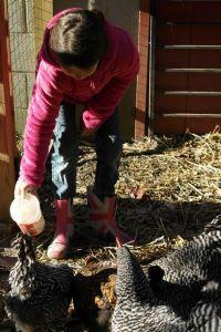 Girl feeding a backyard chicken flock
