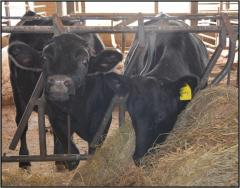 Steers - Are They a Means to Diversify a Dairy Operation? Pic 1