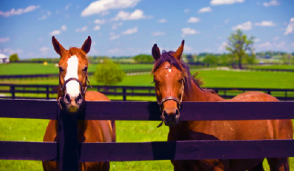 Horses At Fence