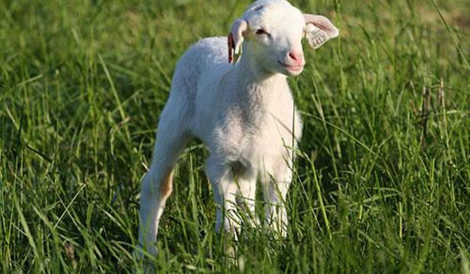 sheep stand field