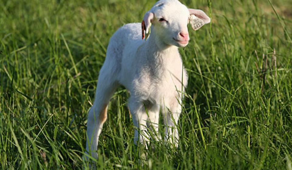 AFS Sheep