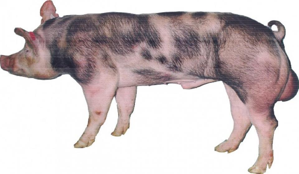 Pietrain - boar